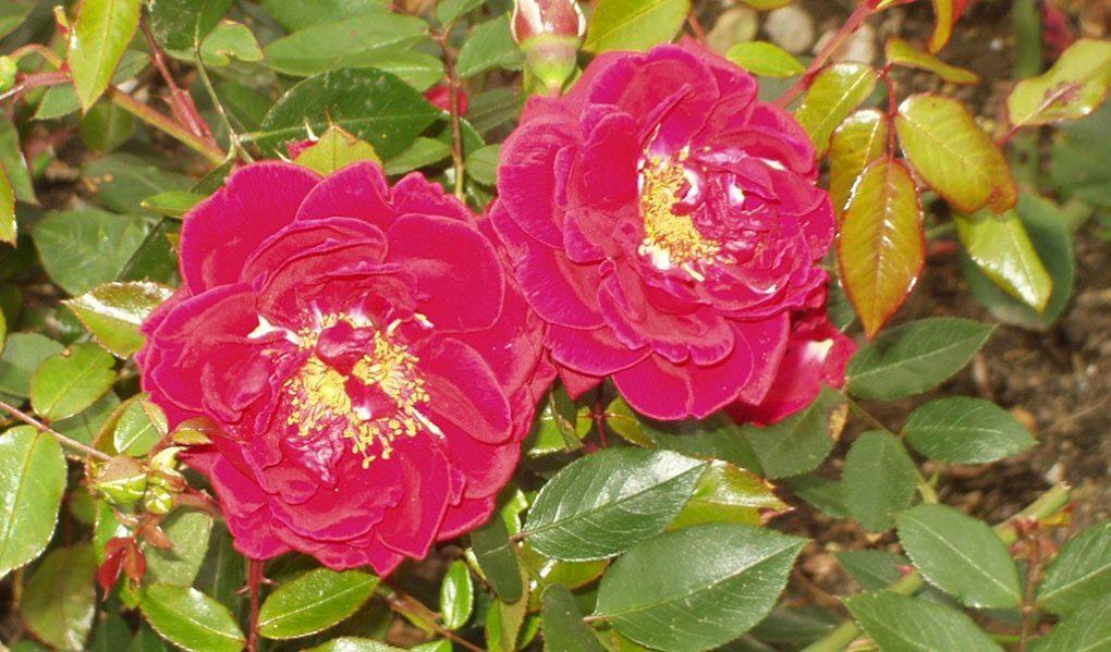 Hever Castle Gardens Rose Judy Dench Prev